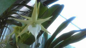 トモロースター・もうひとつの花茎