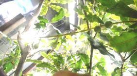 マカダミアの幼果①b