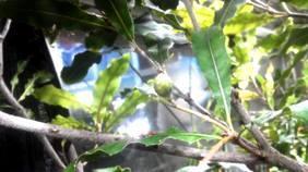 マカダミアの幼果③b