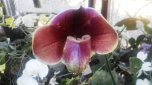 オルチラ開花b
