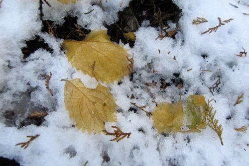 コアジサイの葉