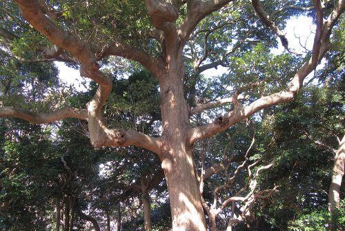 タブノキの独特の樹形