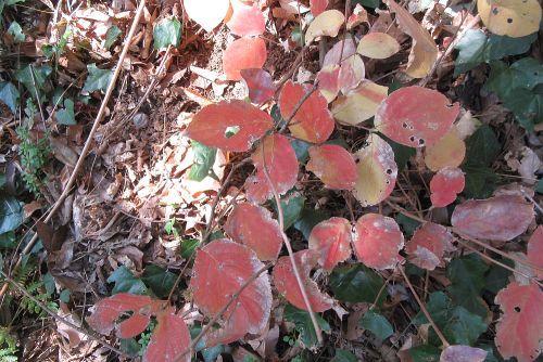 マルバウツギの紅葉