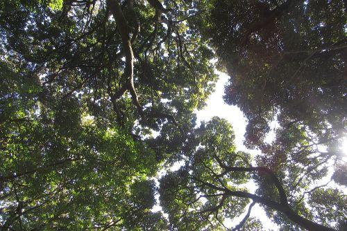 照葉樹の樹幹