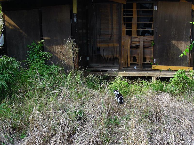 廃屋とブチ柄猫1