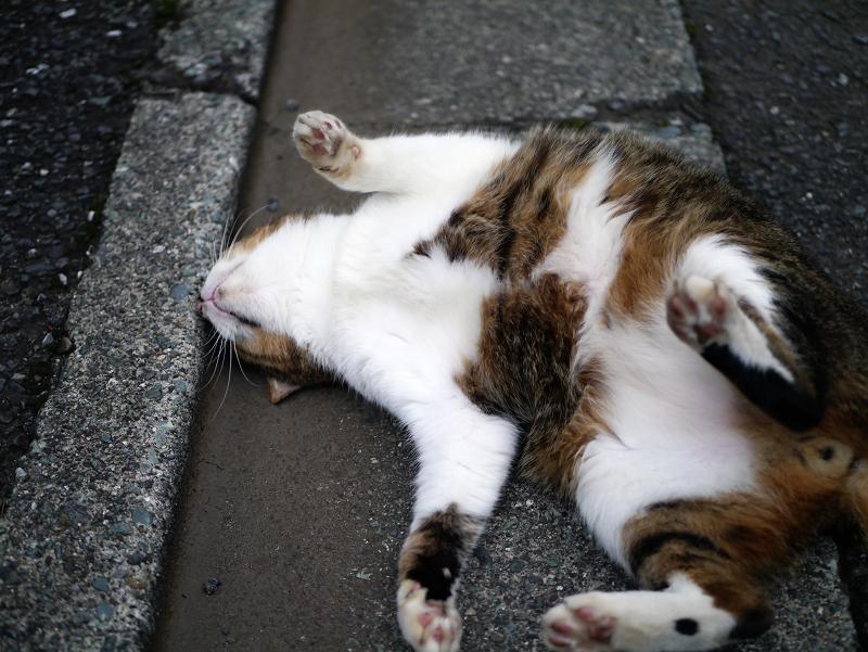 縁石で仰向けになったキジ白猫2