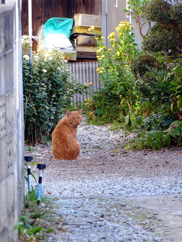 路地の奥の茶トラ猫