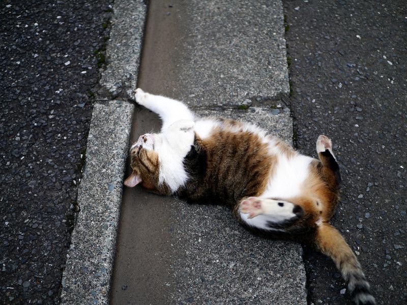 縁石で転げるキジ白猫1