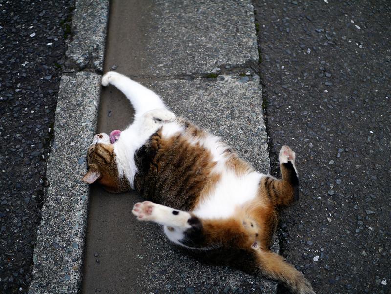 縁石で転げるキジ白猫3