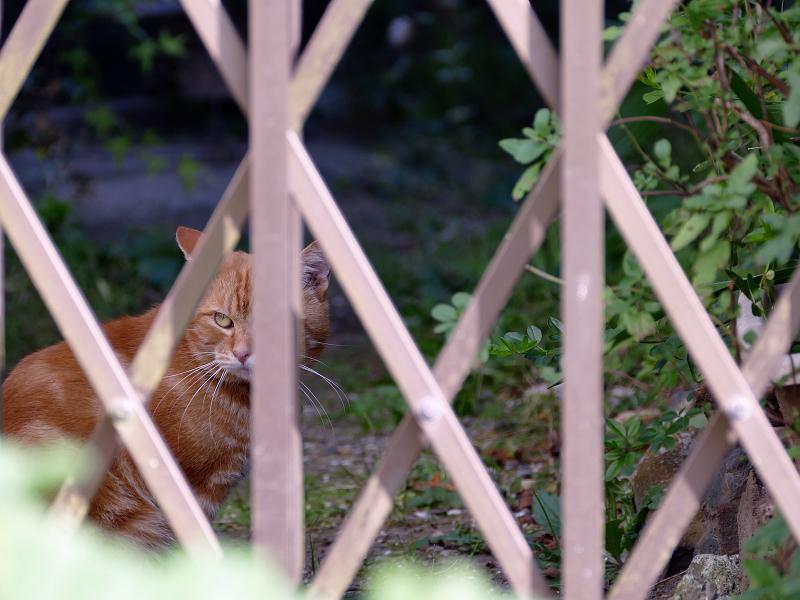柵を挟んで睨み合った茶トラ猫1