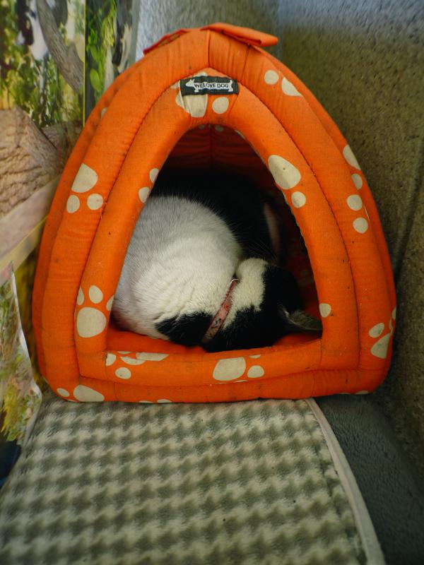 ドッグハウスで寝ている白黒猫