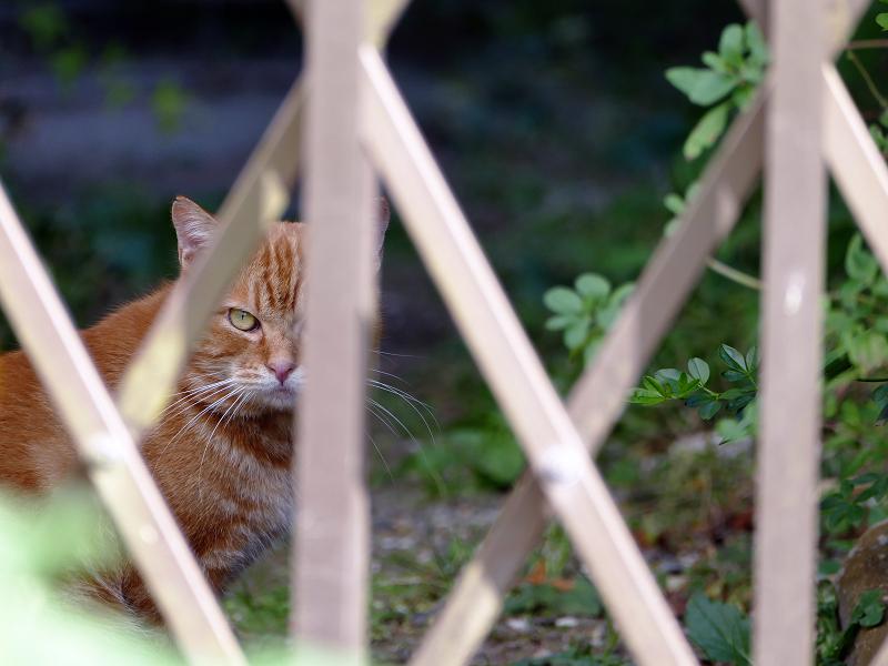柵を挟んで睨み合った茶トラ猫2