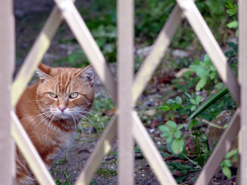 柵を挟んで睨み合った茶トラ猫3