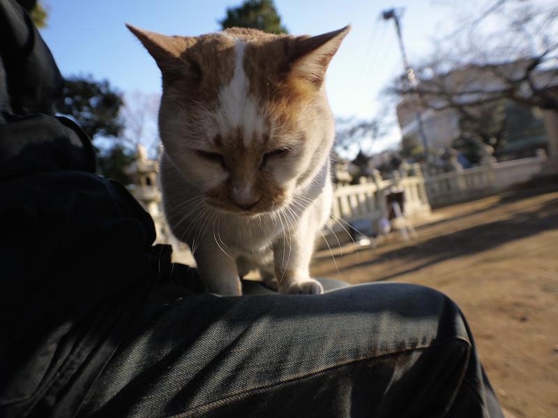 膝に乗ろうとする白茶猫1