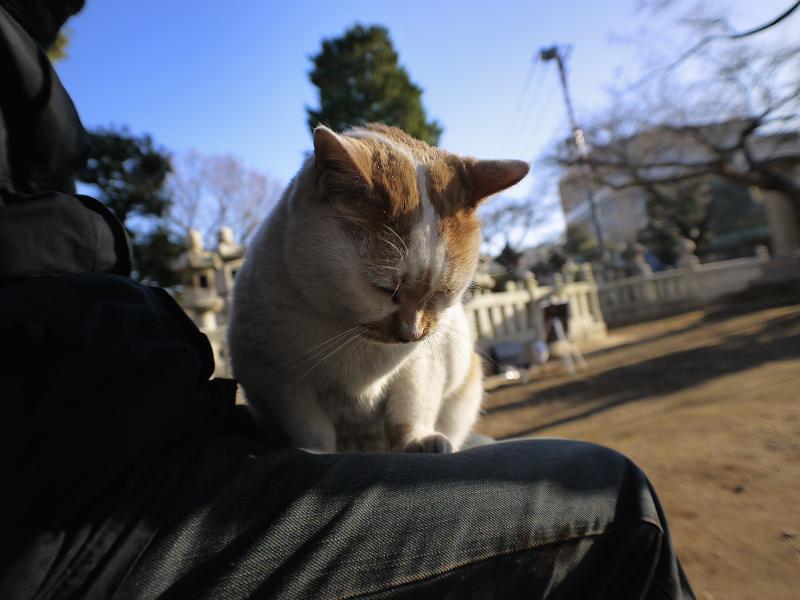 膝に乗ろうとする白茶猫2