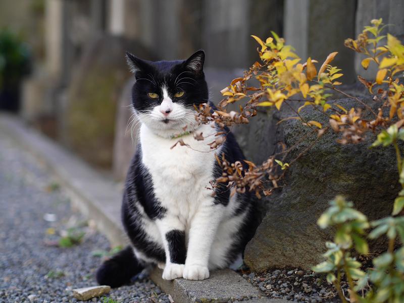 境内玉垣黒白猫1