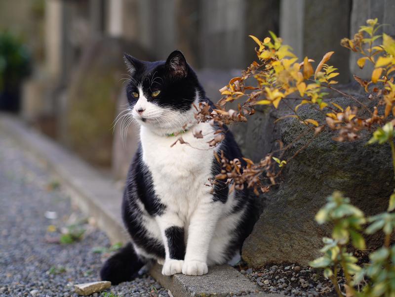 境内玉垣黒白猫2