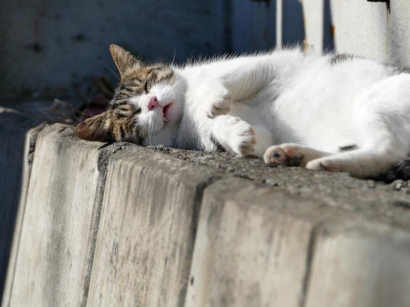 幸せそうな寝顔のキジ白猫