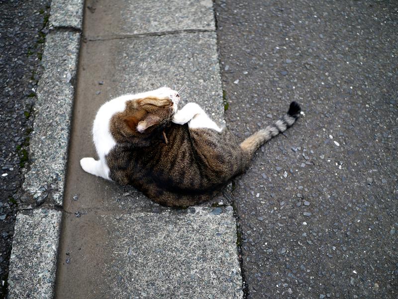 縁石でカキカキするキジ白猫