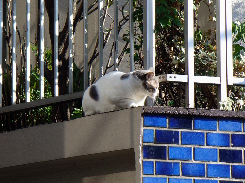 青いタイルとブチ柄猫1