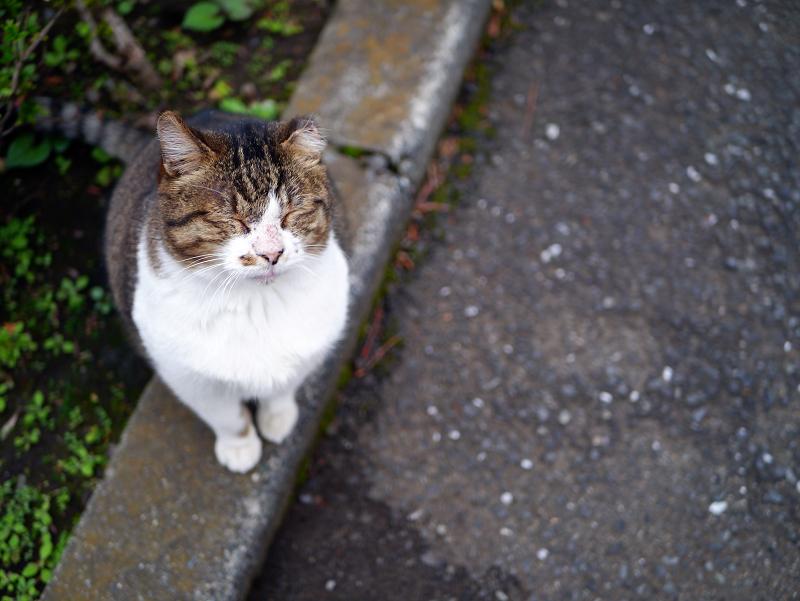 縁石で見てるキジ白猫