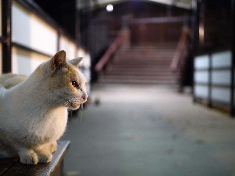 夕暮れの通路と白茶猫1