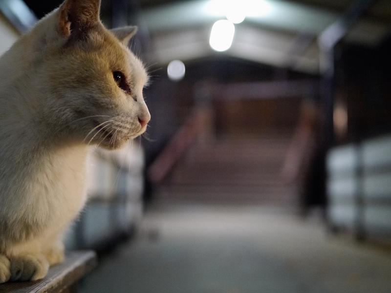 夕暮れの通路と白茶猫2
