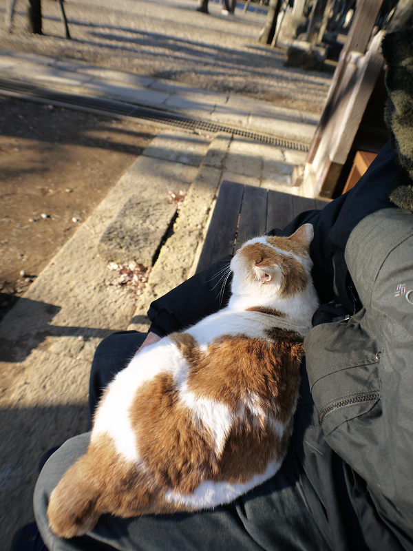 膝で寝ている茶白猫2