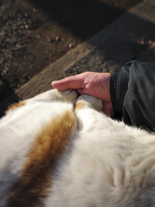 膝で寝ている茶白猫3
