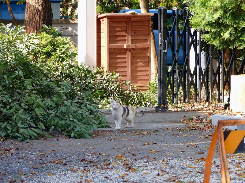 再会した三毛猫ミュゥミュゥ1