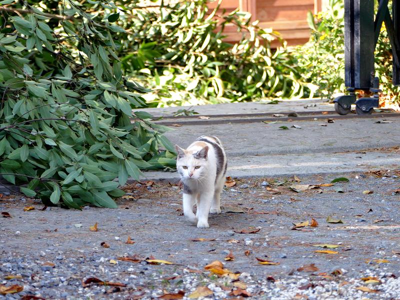 再会した三毛猫ミュゥミュゥ2