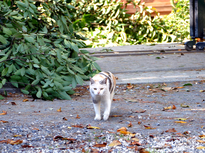 再会した三毛猫ミュゥミュゥ3