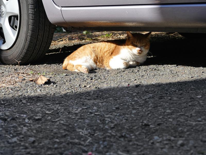 車の下に居た茶白猫