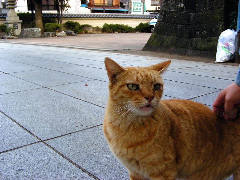 参道の茶トラ猫1