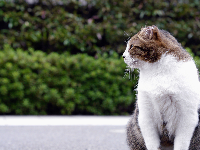 横参道のキジ白猫
