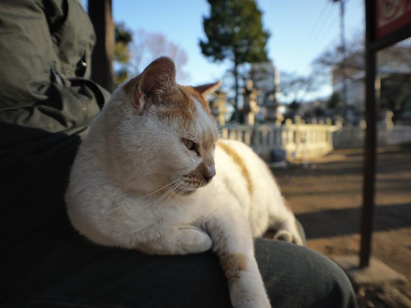 乗った膝から降りようとする茶白猫1