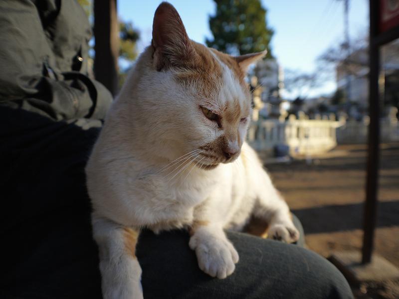 乗った膝から降りようとする茶白猫2
