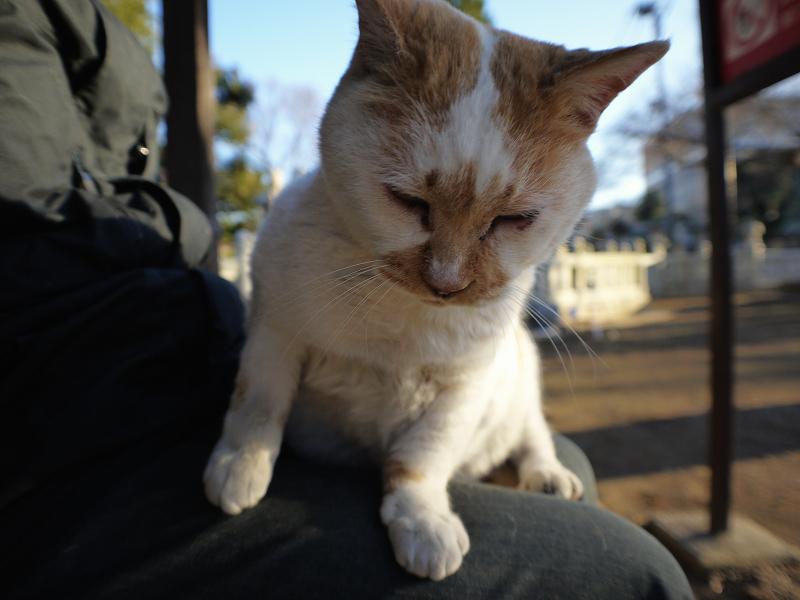 乗った膝から降りようとする茶白猫3