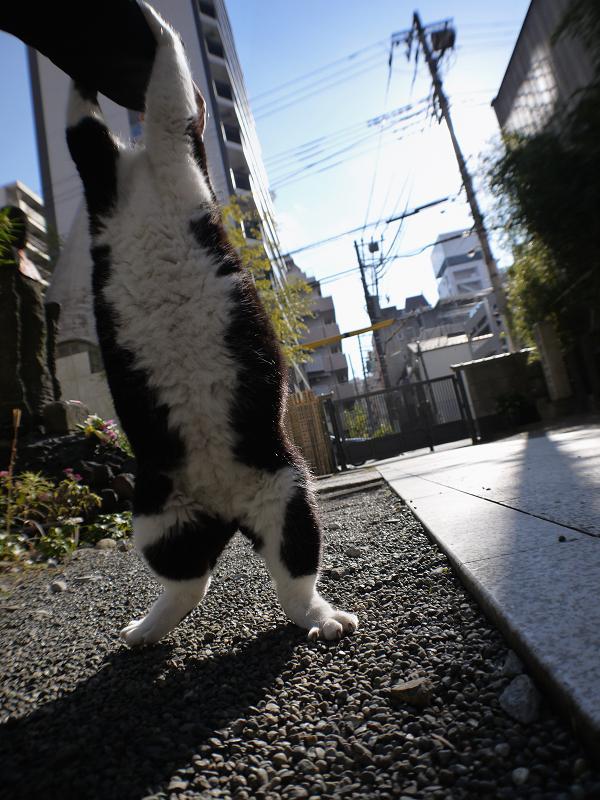 2本足で立ち上がり手を噛む黒白猫