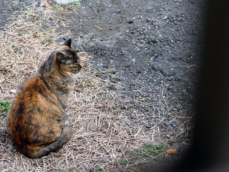 振り返るサビ柄猫1