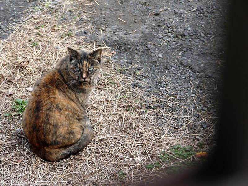 振り返るサビ柄猫2