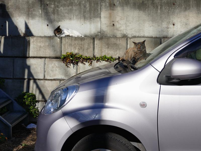 動き出した駐車場の猫3