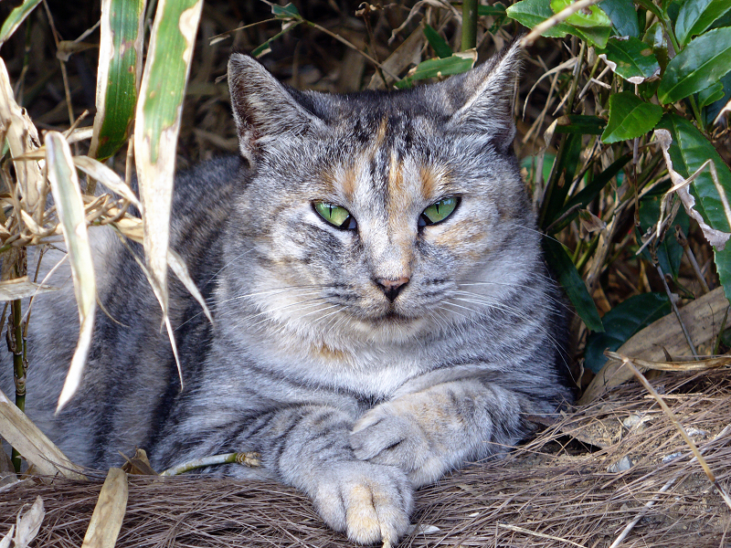 薮のサビ三毛猫2