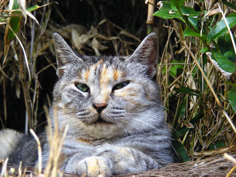 薮のサビ三毛猫3