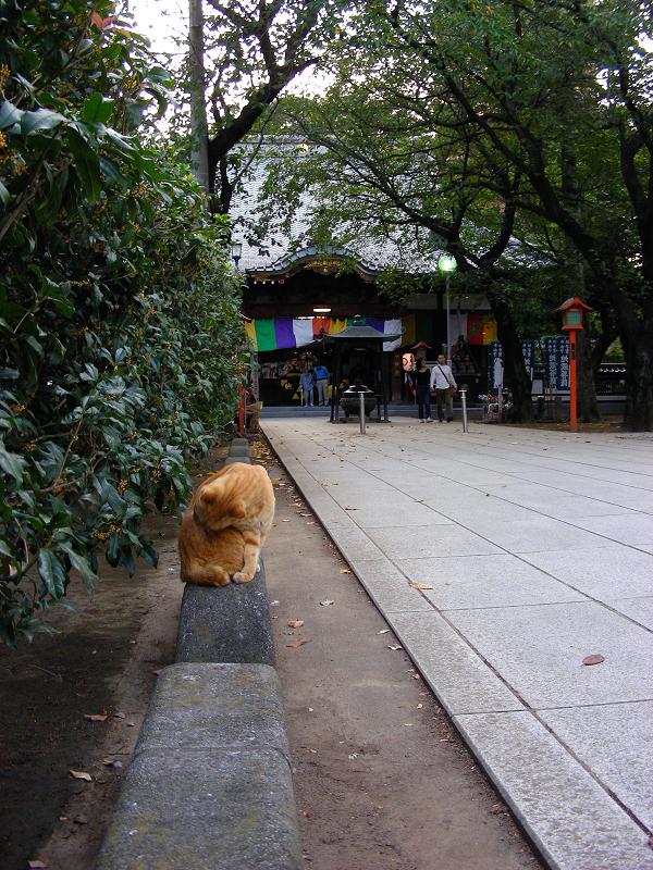 参道縁石の茶トラ猫1