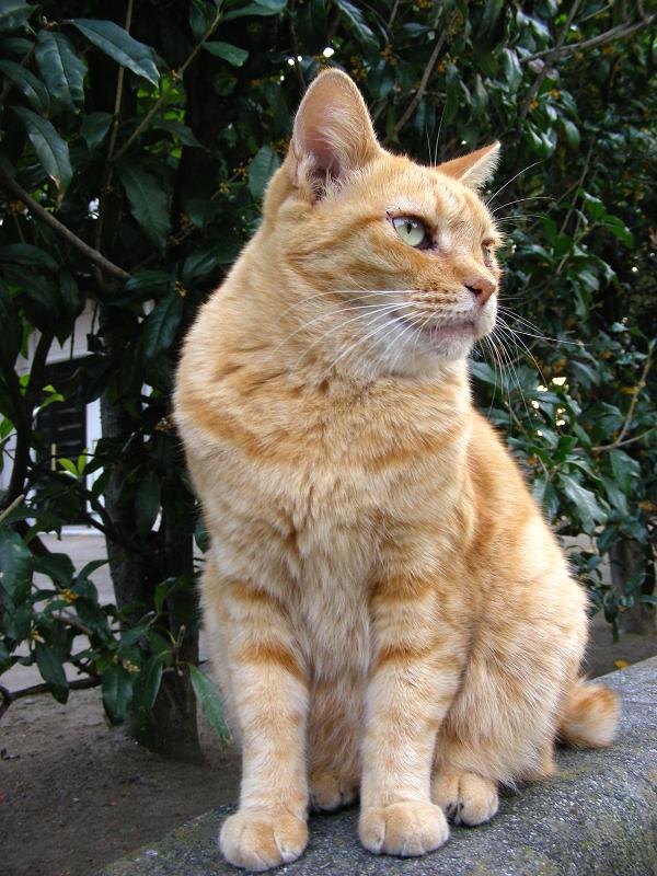 参道縁石の茶トラ猫2