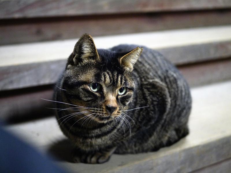 板階段のキジトラ猫1