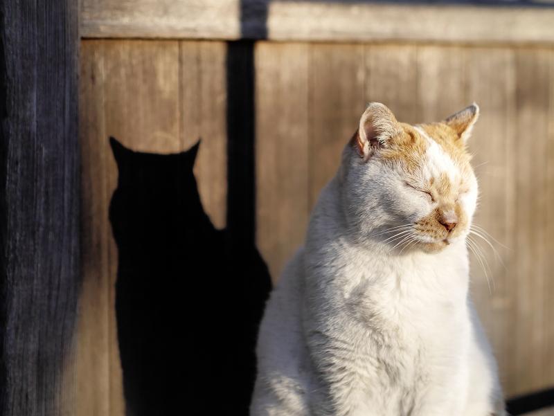夕陽を受けてる茶白猫の影1