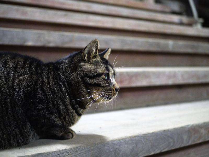 板階段のキジトラ猫2