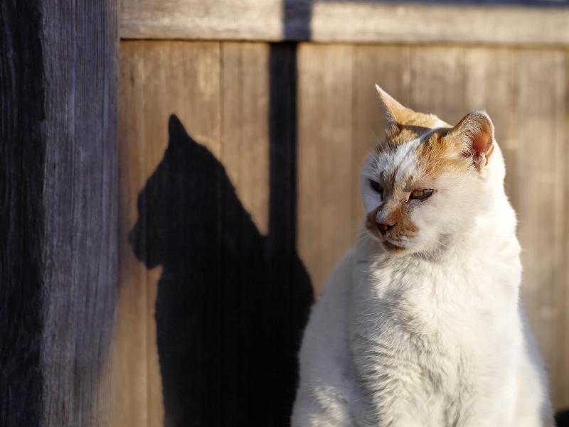 夕陽を受けてる茶白猫の影2